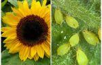 Ayçiçeği üzerinde yaprak bitleri ile nasıl baş edilir
