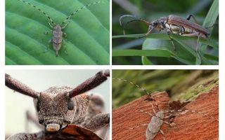 Beetle uzun burunlu gri barbel