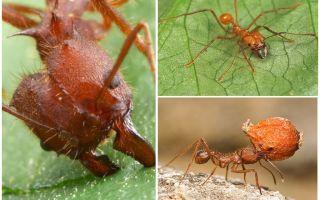 Karıncalar saldırısı