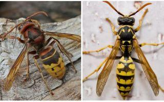 Hornetlerin tanımı ve fotoğrafları