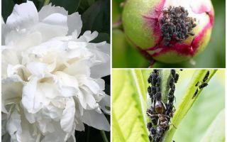 Peonies üzerinde yaprak biti kurtulmak için nasıl