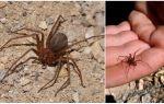 Kahverengi münzevi örümcek