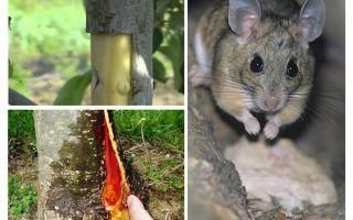 Kabuk nabbed fareler, elma ağacı nasıl kaydedilir