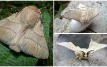 Tırtıl ve ipekböceği kelebek açıklaması ve fotoğraf