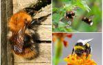 Bumblebees evden nasıl kaldırılır