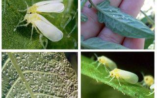 Seralarda beyaz sinekle nasıl baş edilir