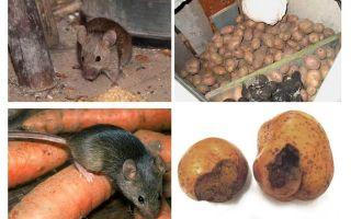 Mahzende fareler nasıl alınır