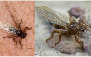 Tehlikeli elk sinek nedir