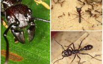 Karıncalar mermi