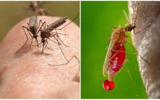 Bir sivrisinek ısırığı kaç kez olabilir