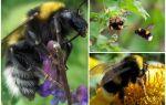 Bahçe bumblebee tanımı ve fotoğrafları