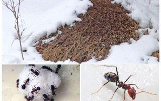 Karıncalar kış aylarında ne yapar