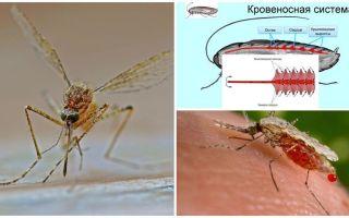 Sivrisineklerin yapısı hakkında ilginç gerçekler