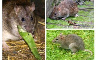 Sıçanlar nasıl benziyor