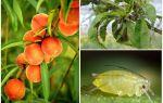 Şeftali halkı ve alışveriş yolları üzerinde yaprak bitleri ile nasıl baş edilir