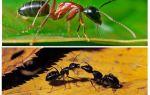 Bir karınca ne kadardır?