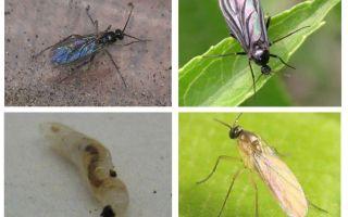 Kapalı bitkilerde ve saksılarda siyah sineklerden nasıl kurtulur