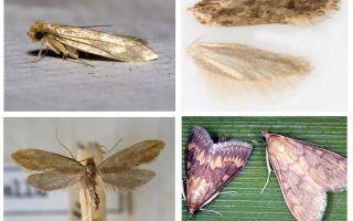 Güve ve larvadan ne yardımcı olur?