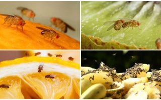 Drosophila Sinekler