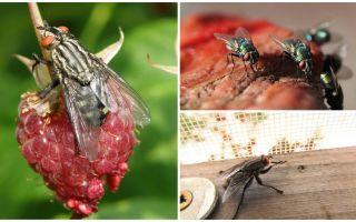 Açıklama ve fotoğraf ev sinekler