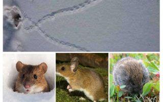 Karda farelerin izleri
