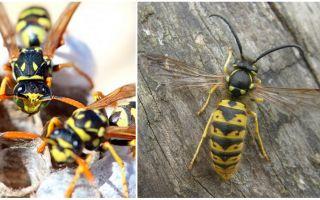 Eşek arısı kış nerede ve nasıl