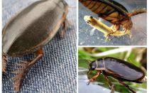 Böceği böceği