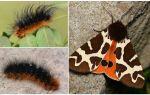 Açıklama ve fotoğraf caterpillar dipper Kaya