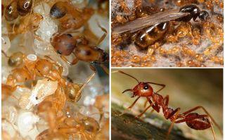 Firavun karıncaları