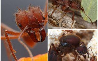 Karıncalar yaprak kesiciler