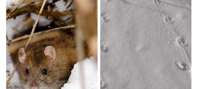 Sıçan izleri karda nasıl görünür