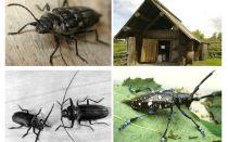 Böceği oduncu fotoğraf ve açıklaması