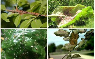 Ağaçlarda yaprak bitlerinden nasıl kurtulur