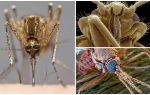 Sivrisinek daha büyük bir görünümde