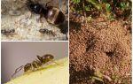 Bahçe siyah karıncalar