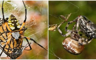 Weaver örümcekler