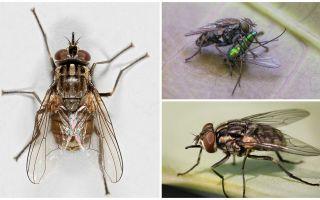 Uçan sinek zhigalki tanımı ve fotoğrafı