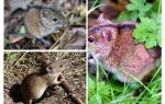 Tarla fareleri