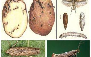 Patates güvesi - depolama kontrol önlemleri