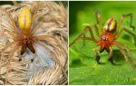 Örümcek Sak'ın (Heiracantium) tanımı ve fotoğrafı