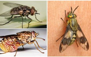 Fotoğraf ve açıklamalar ile sinek çeşitleri