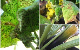 Kabak yaprak biti kurtulmak için nasıl