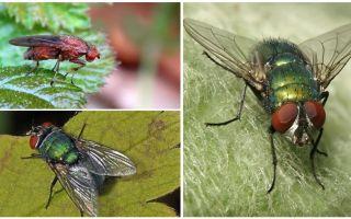 Gübre sinek tanımı ve fotoğrafı
