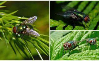 Yeşil carrion sinek açıklaması ve fotoğraf