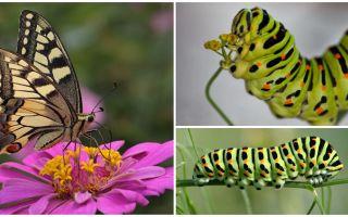 Açıklama ve Machaon kelebek tırtıl fotoğrafı