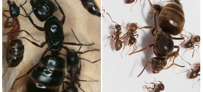 Karınca kraliçesi