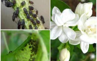 Yasemin üzerinde yaprak bitleri kurtulmak için nasıl