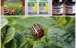 Patateslerde Colorado Patates Böceği nasıl kalıcı olarak kurtulur ve nasıl zehirlenir