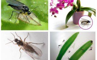 Mantar sivrisinekleri nasıl kurtulur (sciarid)