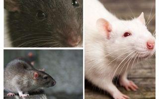 Sıçan vizyonu